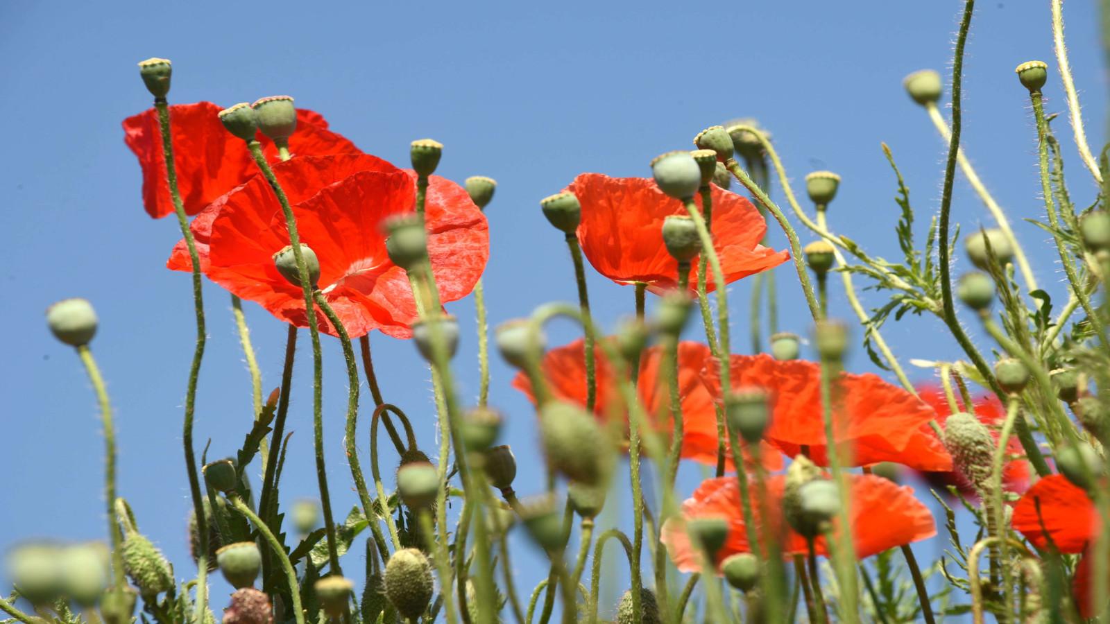 Les coquelicots donnent une touche de rouge dans les champs de mai à septembre.